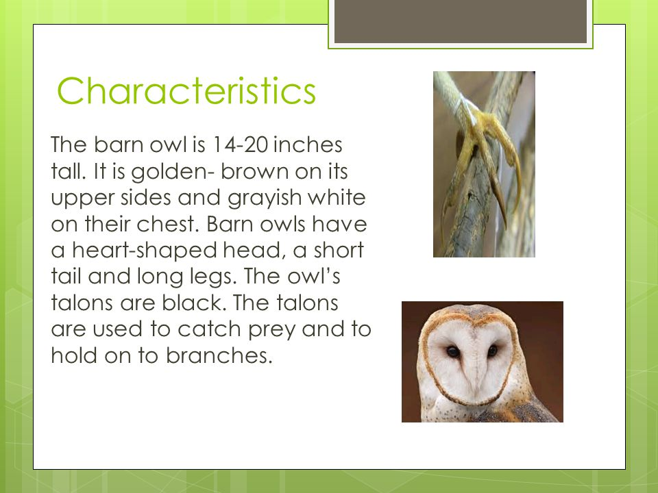 Characteristics The barn owl is 14-20 inches tall. It is golden- brown on its upper sides and grayish white on their chest. Barn owls have a heart-sha
