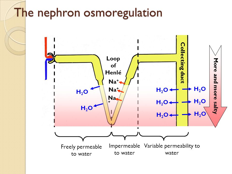 Variable permeability to water Impermeable to water Freely permeable to water The nephron osmoregulation More and more salty H2OH2O H2OH2O H2OH2O H2OH2O H2OH2O H2OH2O Collecting duct Loop of Henlé H2OH2O H2OH2O Na +