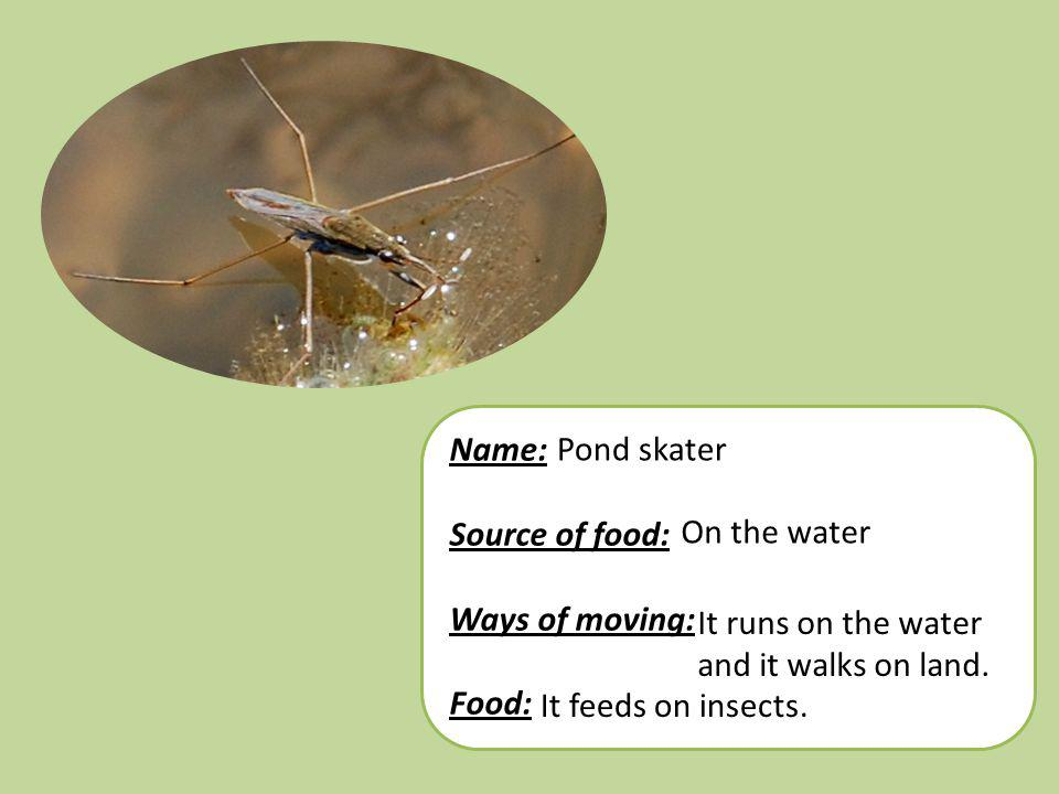 Name: Source of food: Ways of moving: Food: Pond skater On the water It runs on the water and it walks on land. It feeds on insects.