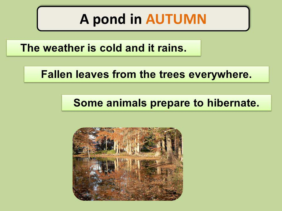 A pond in AUTUMN The weather is cold and it rains. Some animals prepare to hibernate. Fallen leaves from the trees everywhere.