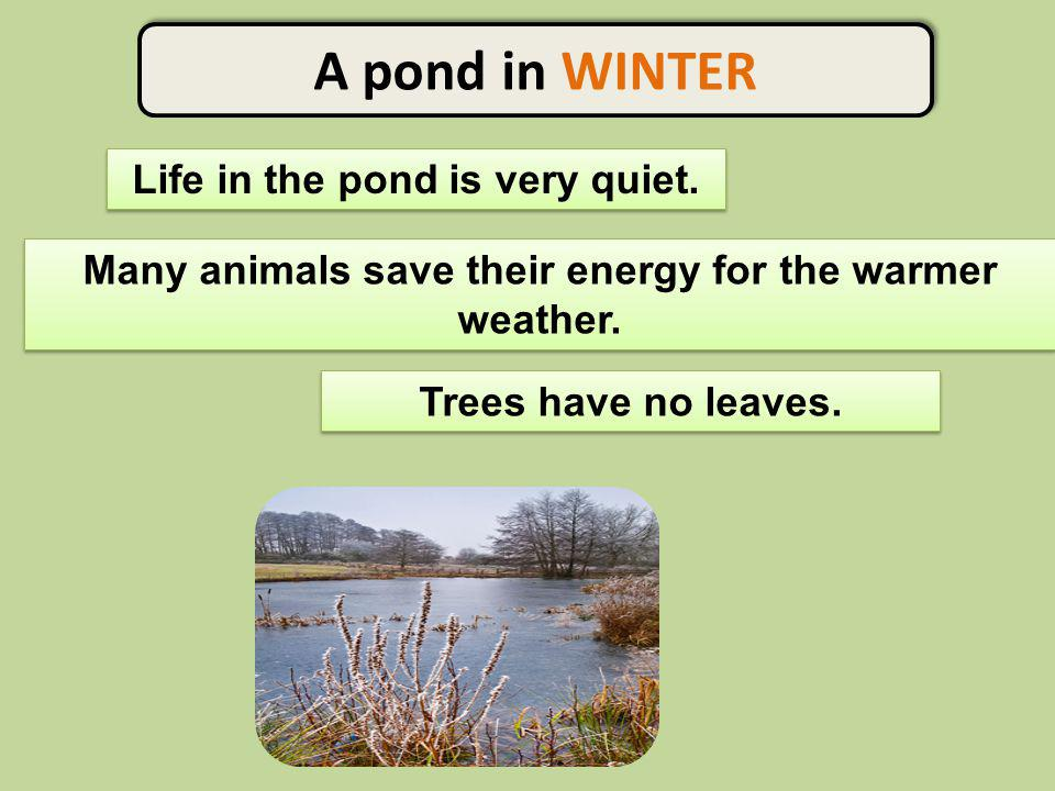 A pond in WINTER Life in the pond is very quiet. Many animals save their energy for the warmer weather. Trees have no leaves.