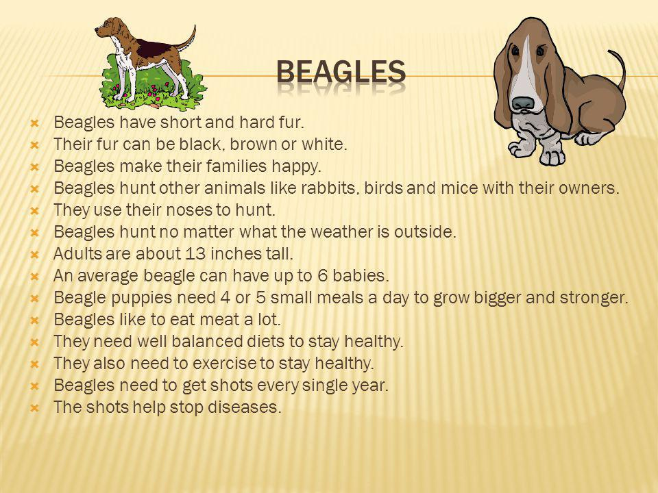 Beagles have short and hard fur.Their fur can be black, brown or white.