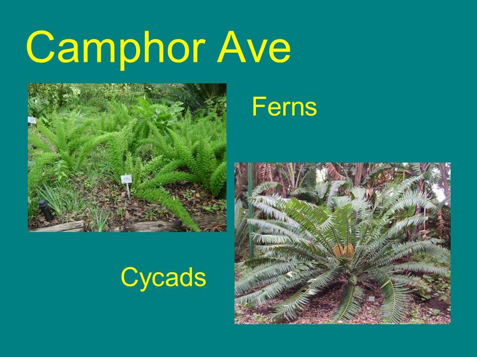 Cycads Ferns