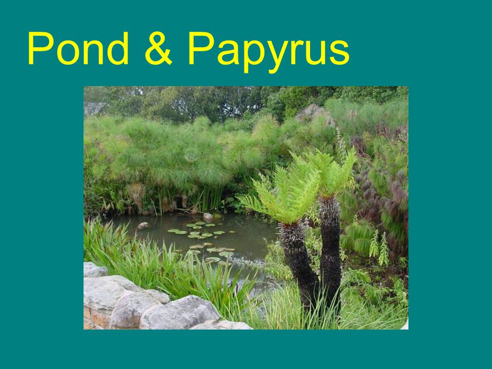 Pond & Papyrus