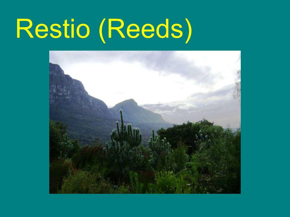 Restio (Reeds)