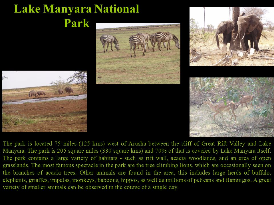 Lake Manyara National Park The park is located 75 miles (125 kms) west of Arusha between the cliff of Great Rift Valley and Lake Manyara.