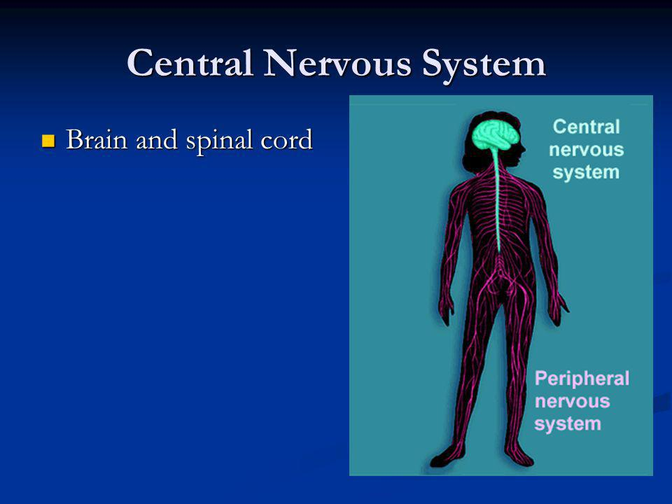 Central Nervous System Brain and spinal cord Brain and spinal cord