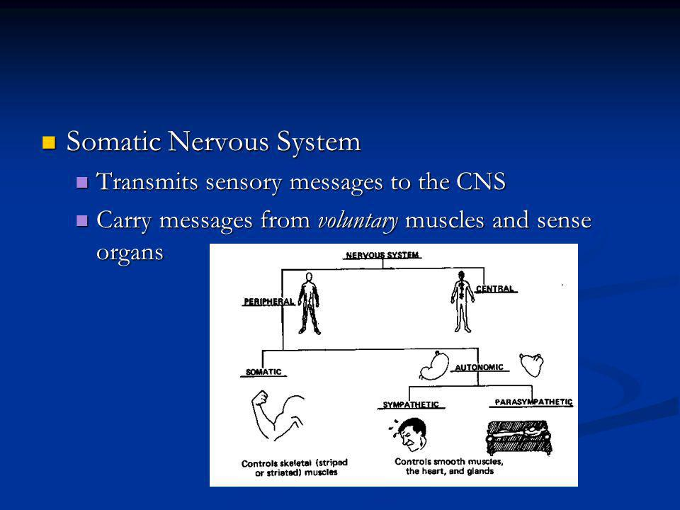 Somatic Nervous System Somatic Nervous System Transmits sensory messages to the CNS Transmits sensory messages to the CNS Carry messages from voluntar