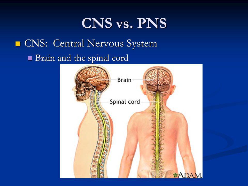 CNS vs. PNS CNS: Central Nervous System CNS: Central Nervous System Brain and the spinal cord Brain and the spinal cord
