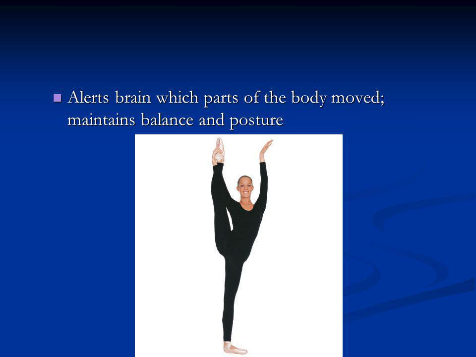 Alerts brain which parts of the body moved; maintains balance and posture Alerts brain which parts of the body moved; maintains balance and posture