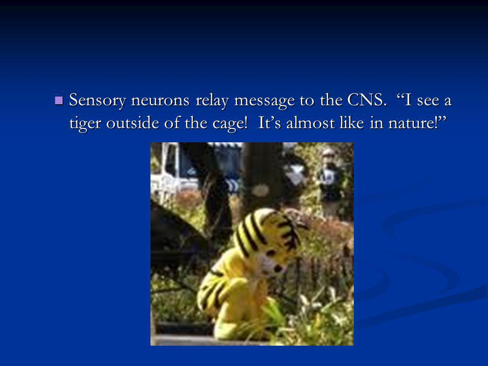 Sensory neurons relay message to the CNS. I see a tiger outside of the cage! Its almost like in nature! Sensory neurons relay message to the CNS. I se