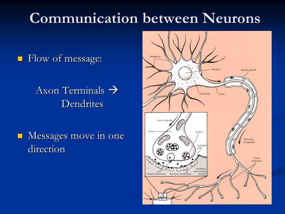 Communication between Neurons Flow of message: Flow of message: Axon Terminals Dendrites Messages move in one direction Messages move in one direction