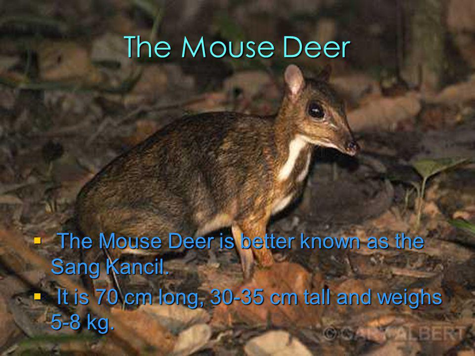 The Mouse Deer The Mouse Deer is better known as the Sang Kancil.