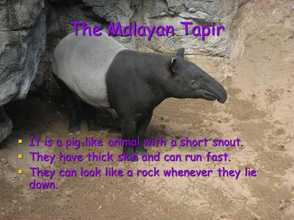 The Malayan Tapir It is a pig-like animal with a short snout.