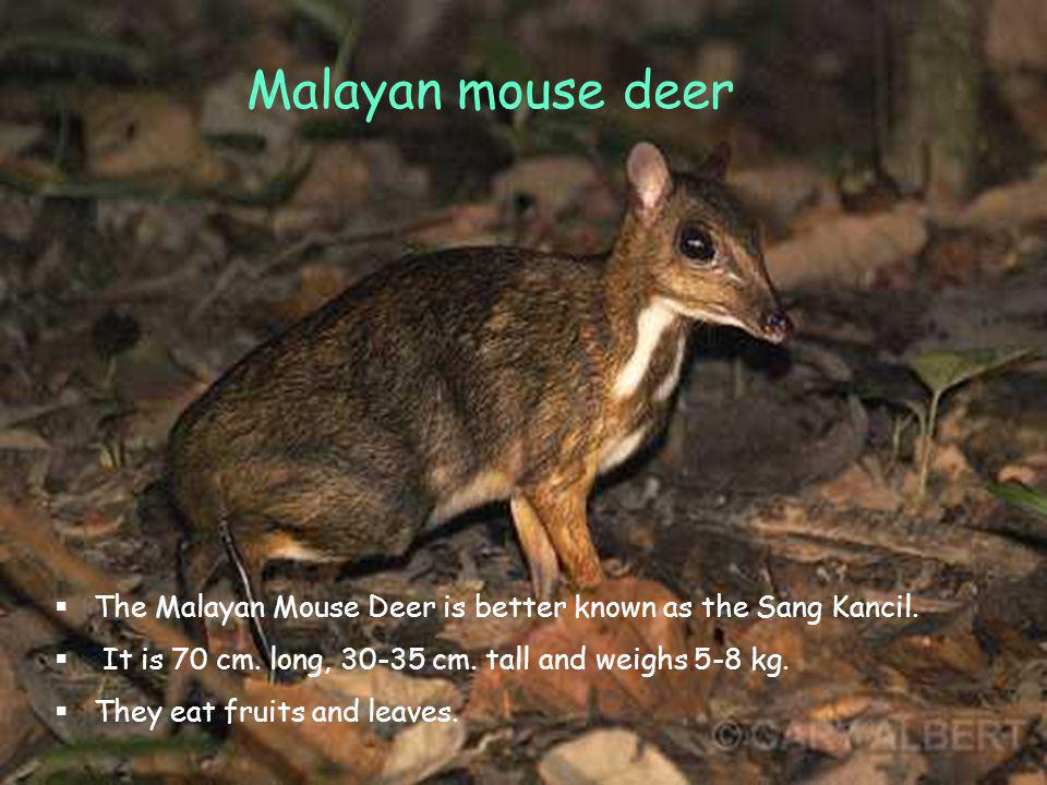 Malayan Mouse Deer The mouse deer is better known as the sang ka The mouse deer is better known as the sang ka Malayan mouse deer The Malayan Mouse Deer is better known as the Sang Kancil.