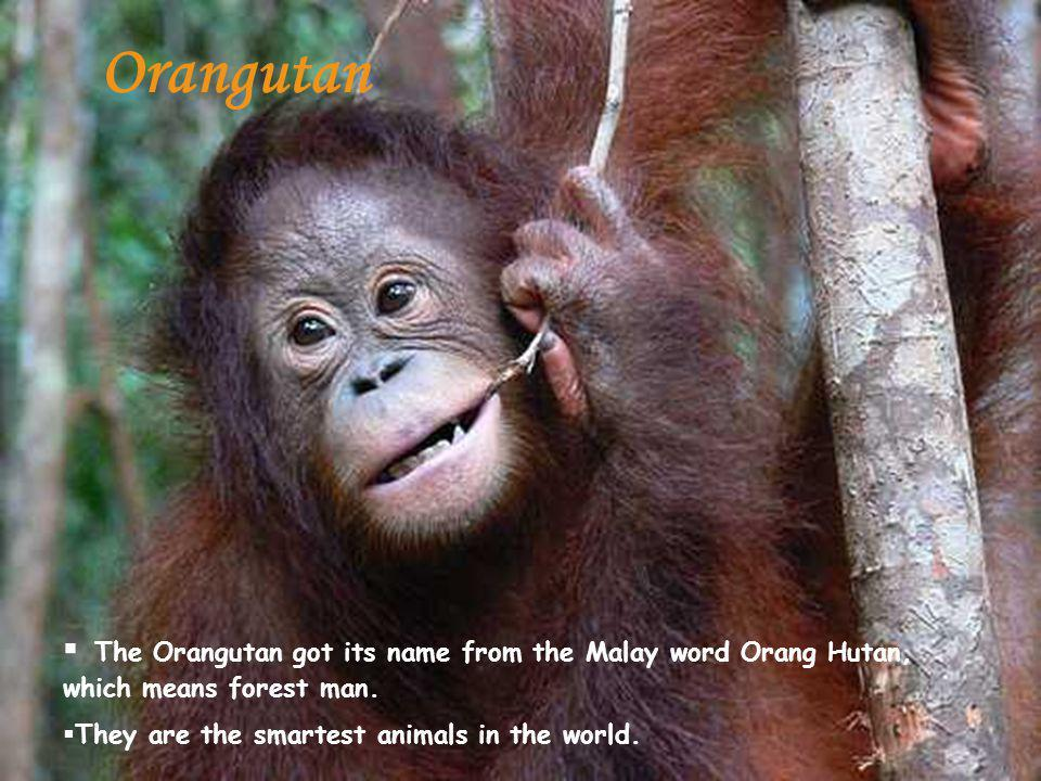 The Orangutan got its name from the Malay word Orang Hutan, which means forest man.