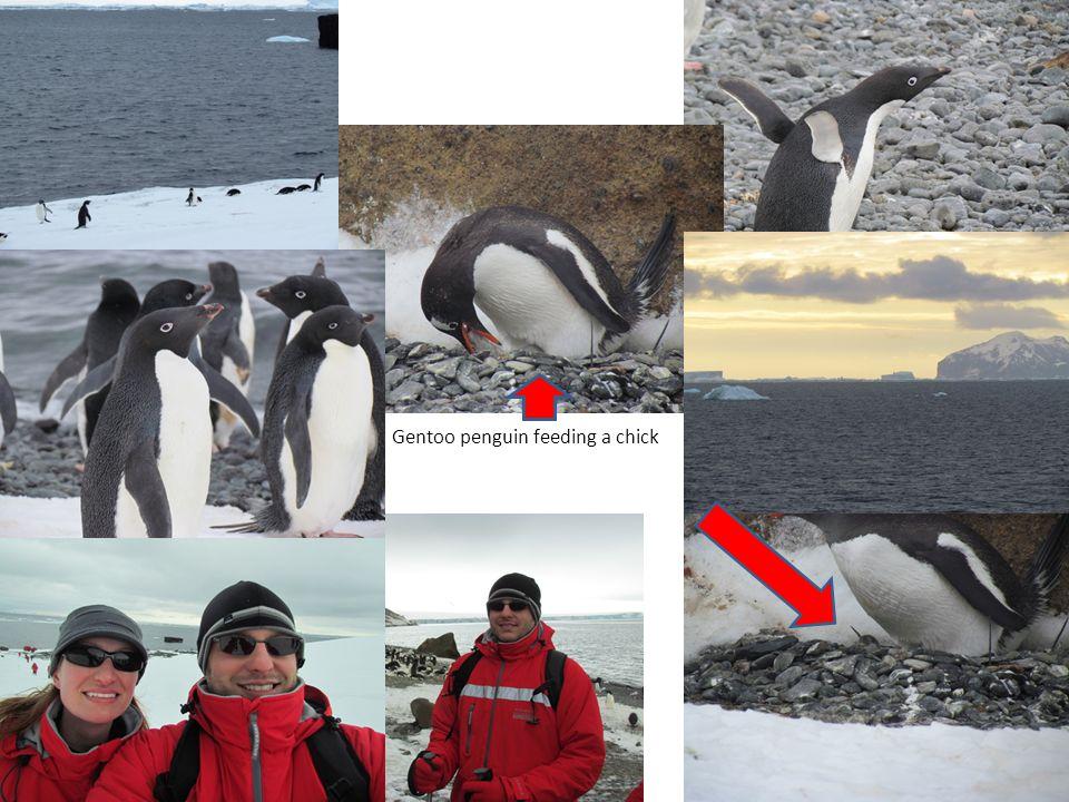Gentoo penguin feeding a chick