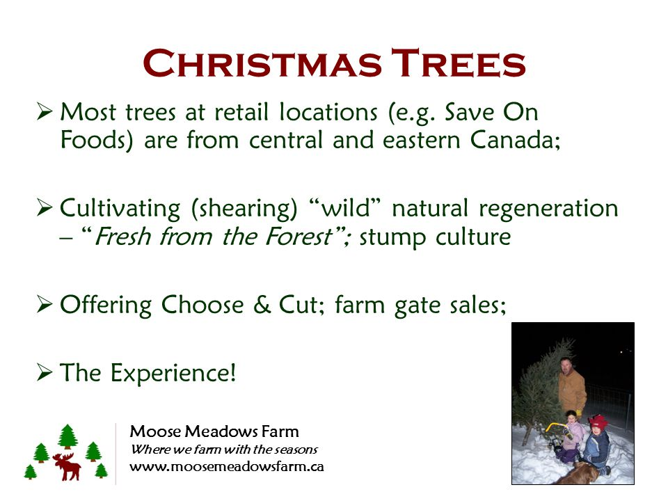 Christmas Trees Most trees at retail locations (e.g. Save On Foods) are from central and eastern Canada; Cultivating (shearing) wild natural regenerat