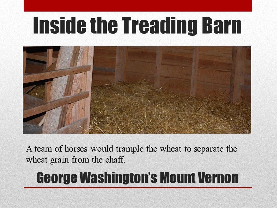 Inside the Treading Barn George Washingtons Mount Vernon A team of horses would trample the wheat to separate the wheat grain from the chaff.