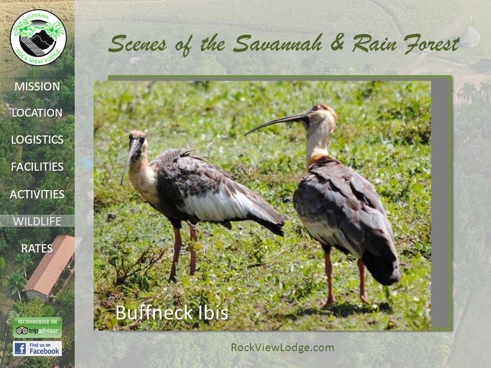 LOCATION FACILITIES ACTIVITIES LOGISTICS WILDLIFE RATES MISSION RockViewLodge.com Scenes of the Savannah & Rain Forest Buffneck Ibis