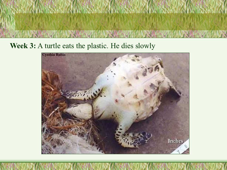 Week 3: A turtle eats the plastic. He dies slowly