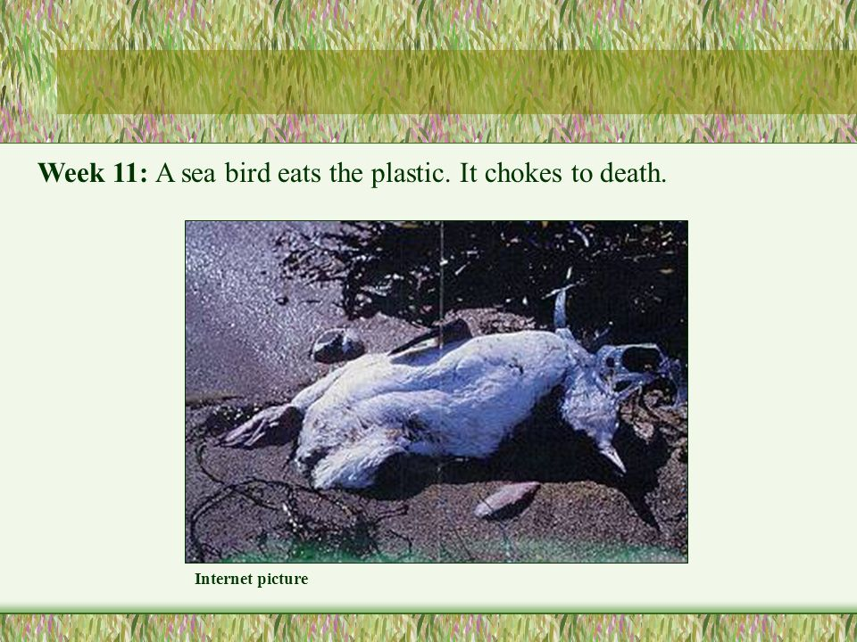 Internet picture Week 11: A sea bird eats the plastic. It chokes to death.