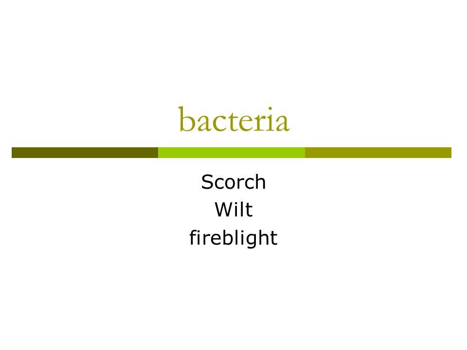 bacteria Scorch Wilt fireblight