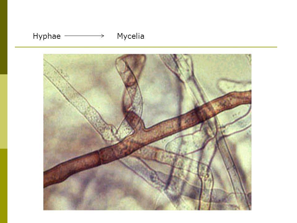 HyphaeMycelia