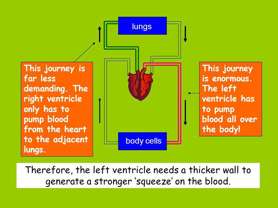 This journey is far less demanding. The right ventricle only has to pump blood from the heart to the adjacent lungs. This journey is enormous. The lef