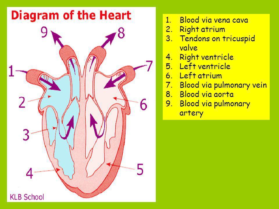 1.Blood via vena cava 2.Right atrium 3.Tendons on tricuspid valve 4.Right ventricle 5.Left ventricle 6.Left atrium 7.Blood via pulmonary vein 8.Blood