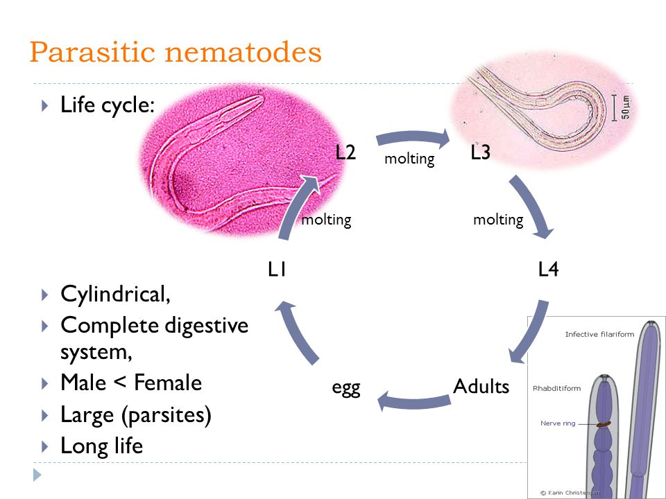 Parasitic nematodes Life cycle: Cylindrical, Complete digestive system, Male < Female Large (parsites) Long life molting
