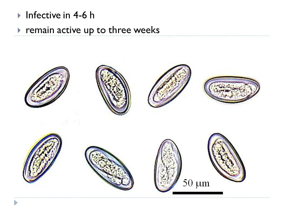 Infective in 4-6 h remain active up to three weeks 11