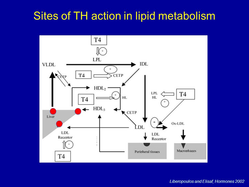 Sites of TH action in lipid metabolism Liberopoulos and Elisaf, Hormones 2002