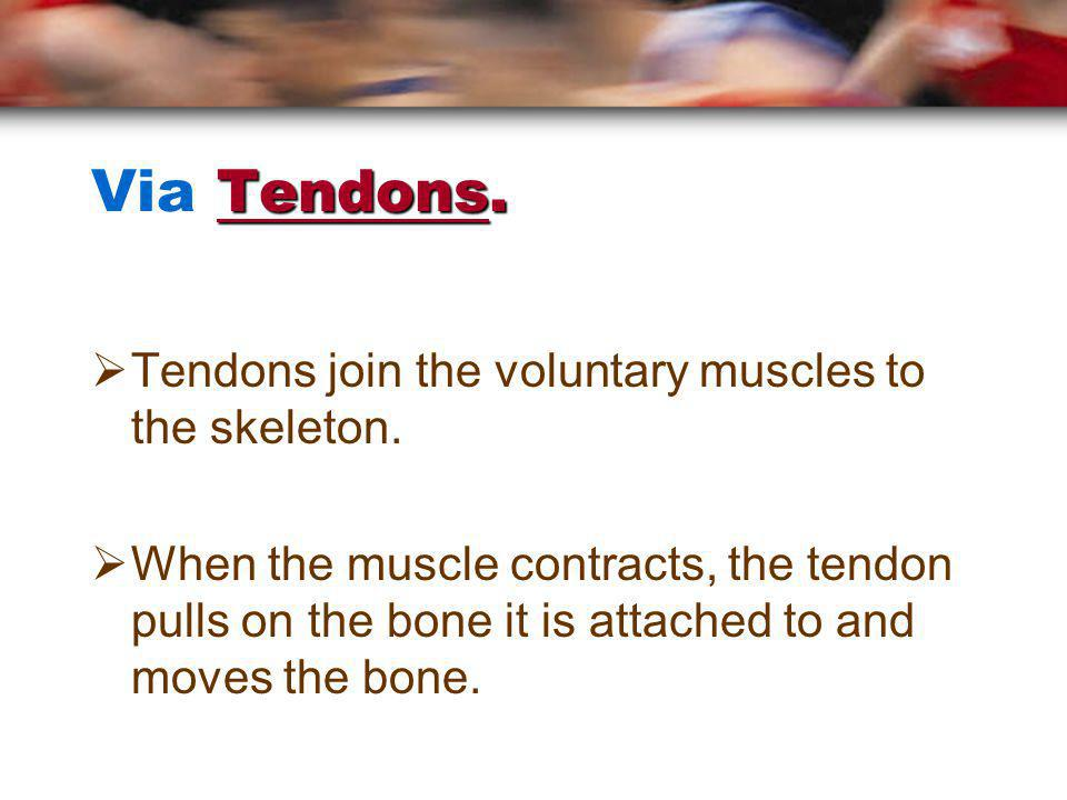 How are muscles attached to bones?