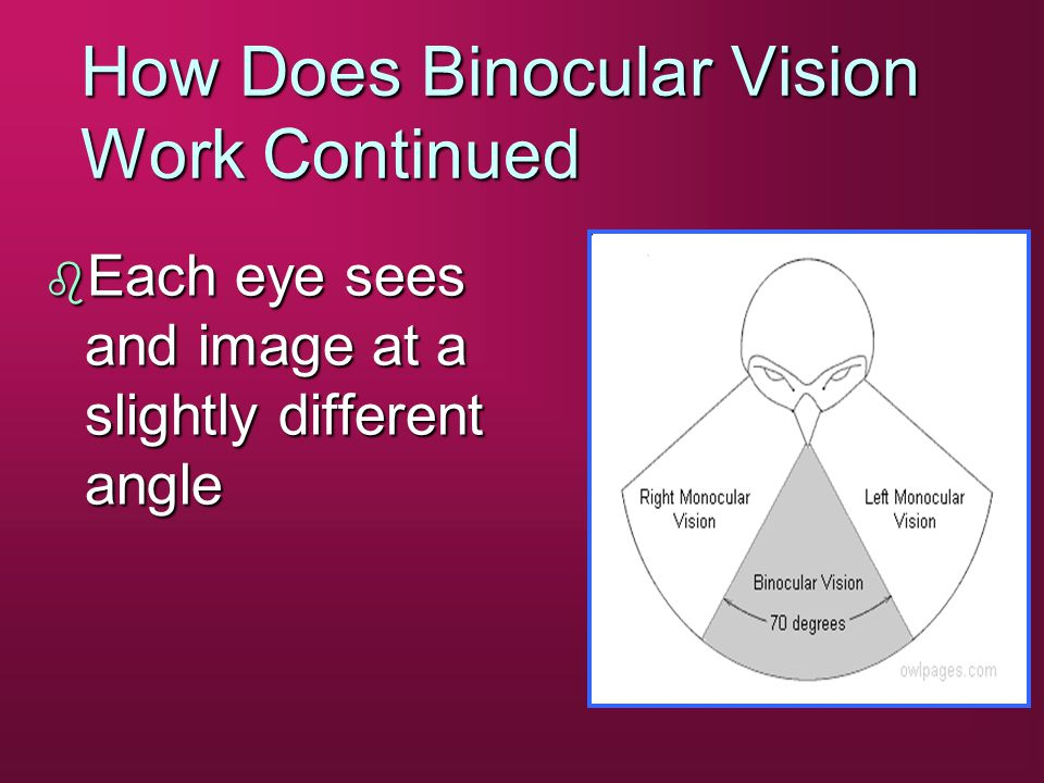 How Does Binocular Vision Work Continued b Each eye sees and image at a slightly different angle