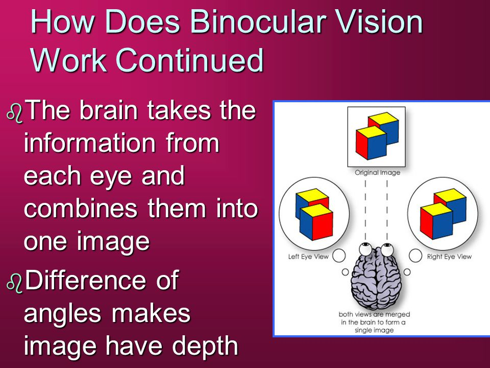 How Does Binocular Vision Work Continued b The brain takes the information from each eye and combines them into one image b Difference of angles makes image have depth