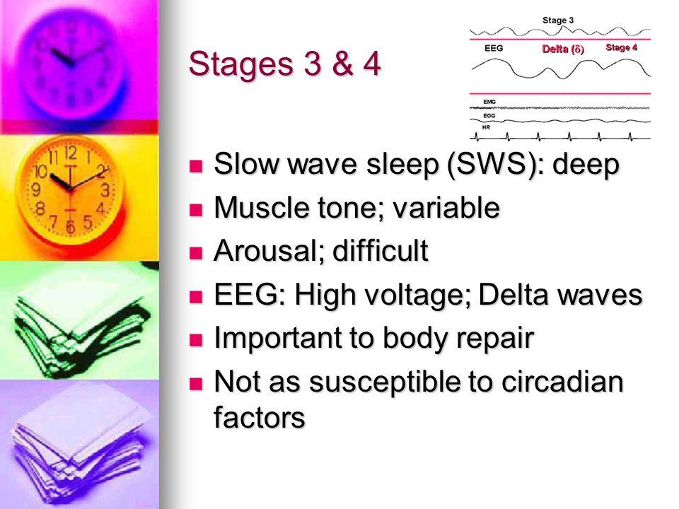 Stages 3 & 4 Slow wave sleep (SWS): deep Slow wave sleep (SWS): deep Muscle tone; variable Muscle tone; variable Arousal; difficult Arousal; difficult