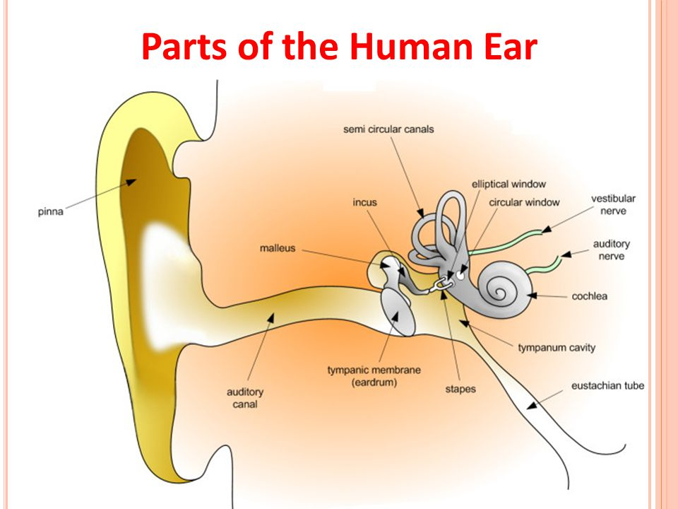 Parts of the Human Ear