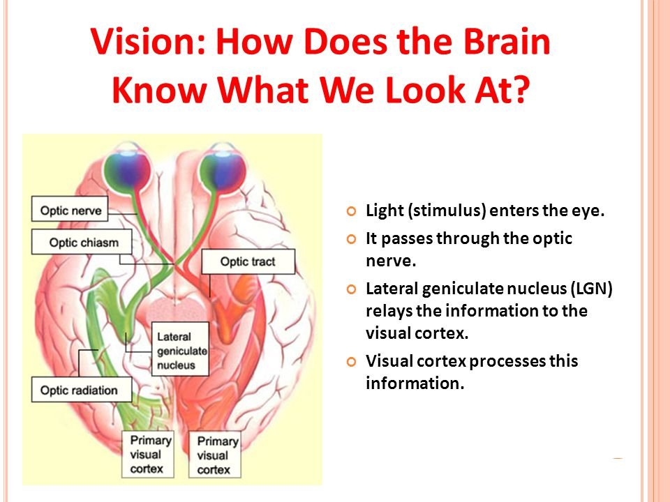 Vision: How Does the Brain Know What We Look At? Light (stimulus) enters the eye. It passes through the optic nerve. Lateral geniculate nucleus (LGN)