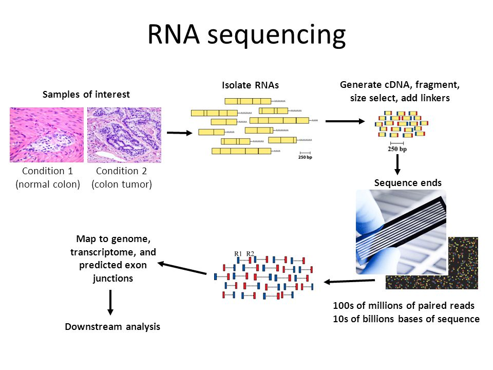 RNA sequencing Condition 1 (normal colon) Condition 2 (colon tumor) Isolate RNAs Sequence ends 100s of millions of paired reads 10s of billions bases