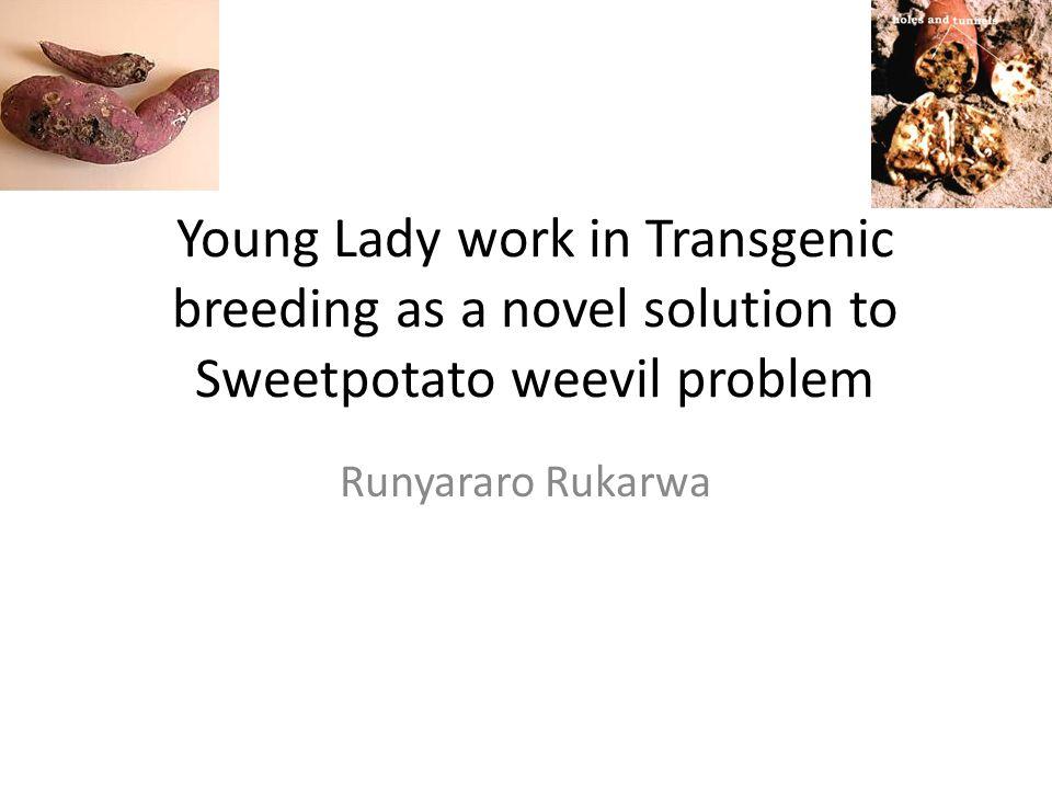 Young Lady work in Transgenic breeding as a novel solution to Sweetpotato weevil problem Runyararo Rukarwa