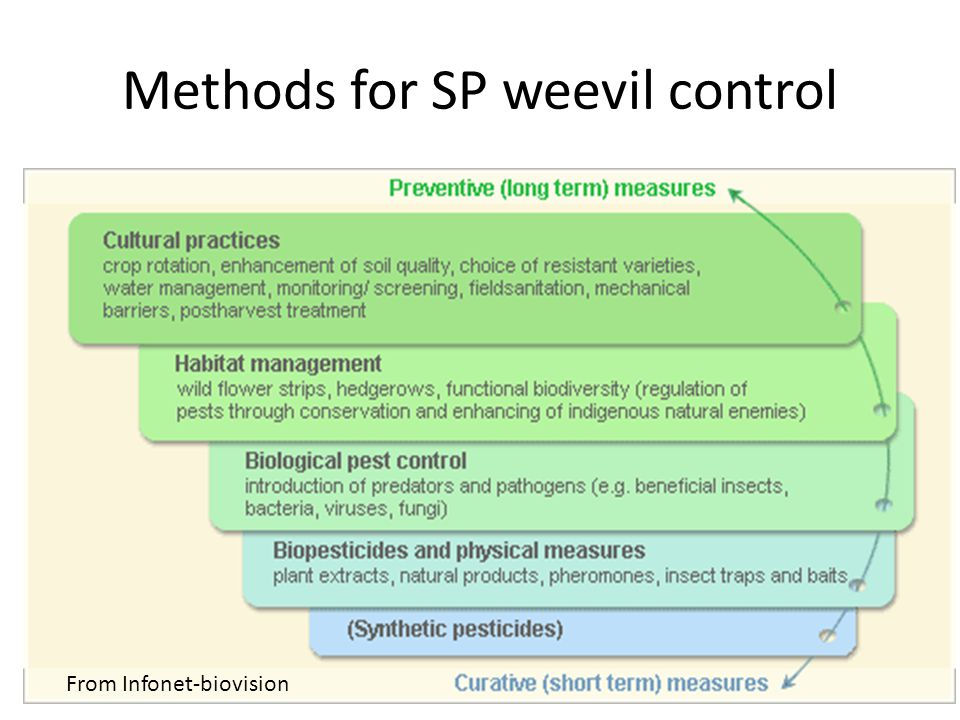 Methods for SP weevil control From Infonet-biovision