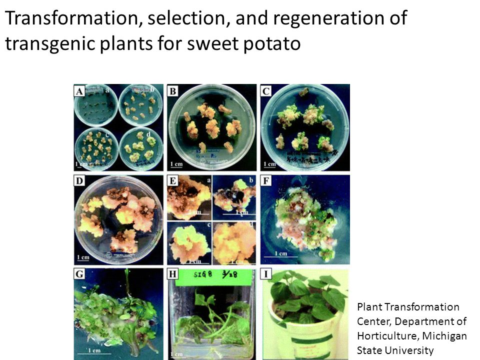 Transformation, selection, and regeneration of transgenic plants for sweet potato Plant Transformation Center, Department of Horticulture, Michigan St