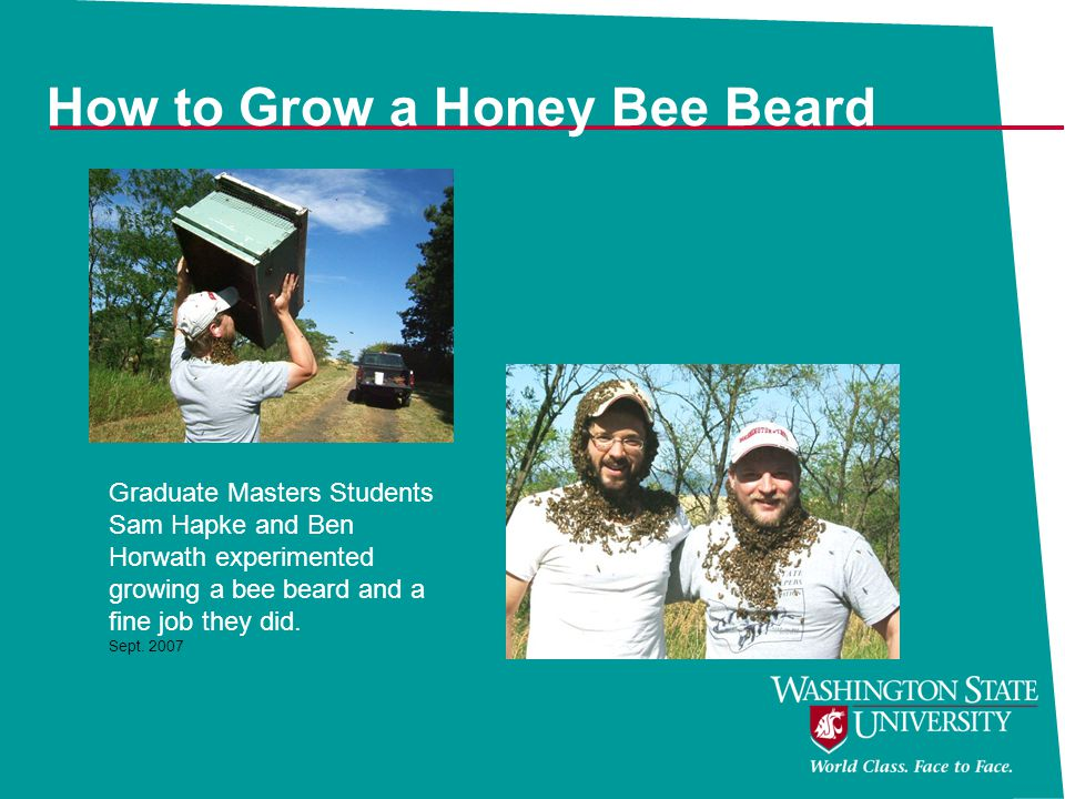 How to Grow a Honey Bee Beard Graduate Masters Students Sam Hapke and Ben Horwath experimented growing a bee beard and a fine job they did. Sept. 2007