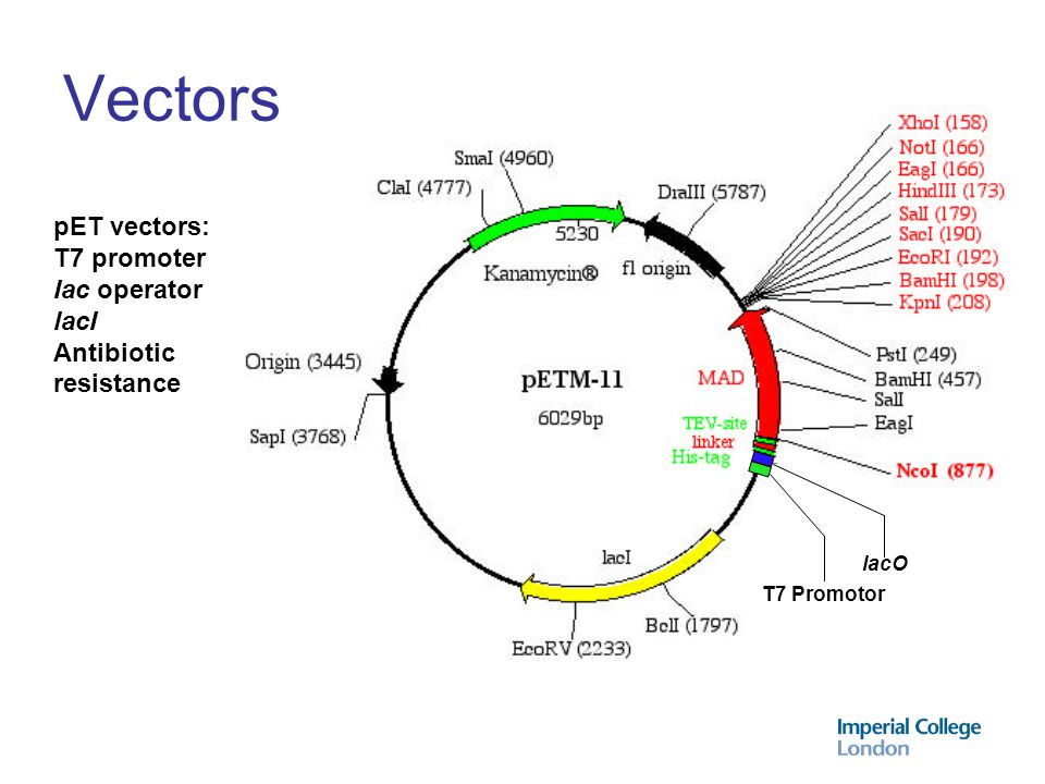 Cell types BL21 (DE3) - T7 polymerase present in chromosome Compatible with B834 (DE3), C41 (DE3) Cell types expressing lysozyme (e.g.