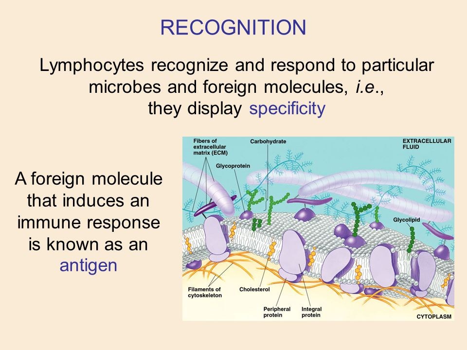 Lymphocytes recognize and respond to particular microbes and foreign molecules, i.e., they display specificity A foreign molecule that induces an immu