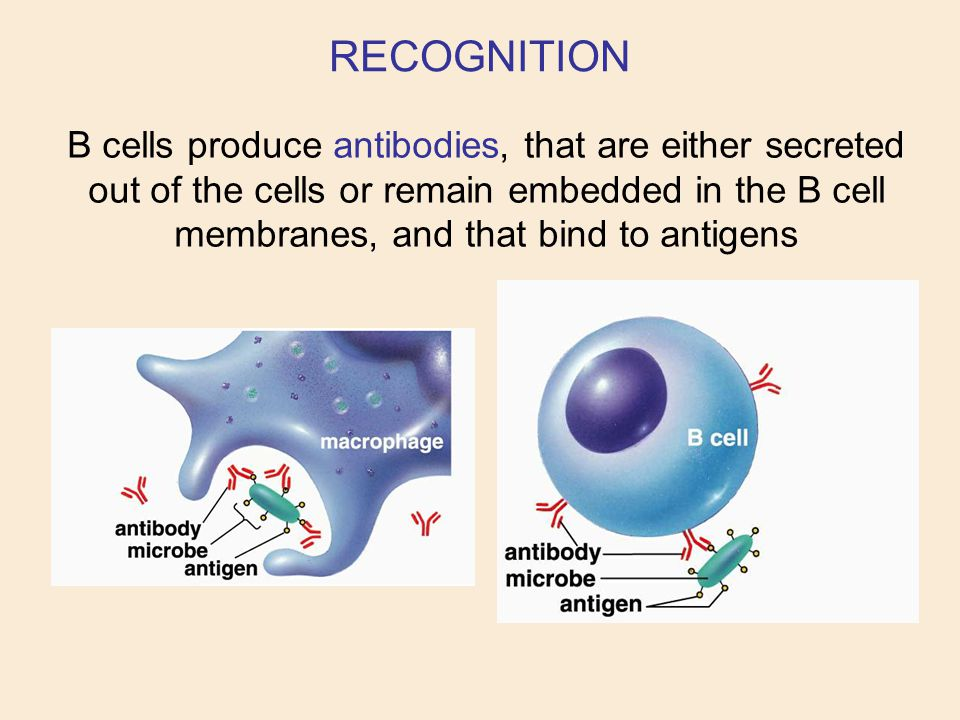B cells produce antibodies, that are either secreted out of the cells or remain embedded in the B cell membranes, and that bind to antigens RECOGNITIO