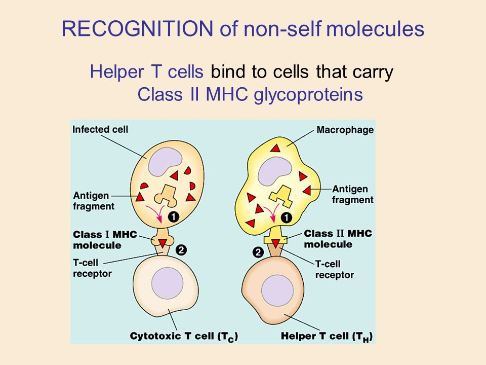 Helper T cells bind to cells that carry Class II MHC glycoproteins RECOGNITION of non-self molecules