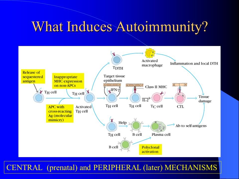 What Induces Autoimmunity? CENTRAL (prenatal) and PERIPHERAL (later) MECHANISMS