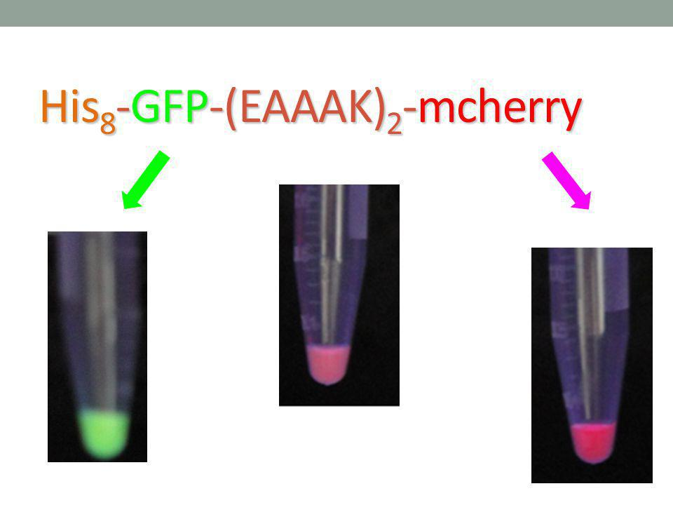 His 8 -GFP-(EAAAK) 2 -mcherry